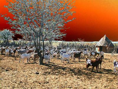 himba-goats-solarized 2 578