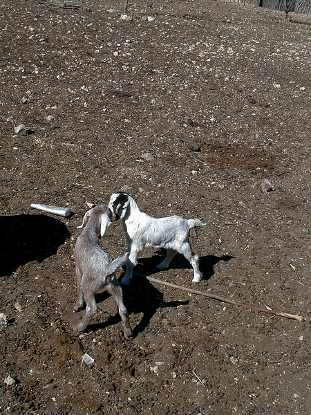 himba-goats 2 570