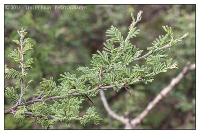 Acacia Thorn Bush