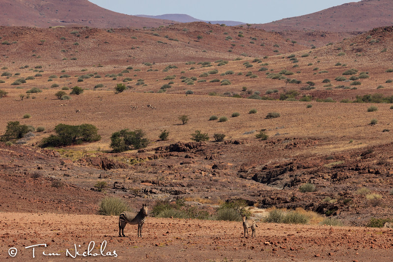 Palmwag zebras in the desert