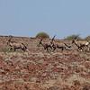 Palmwag Gemsbok