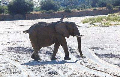 elephant 1 668