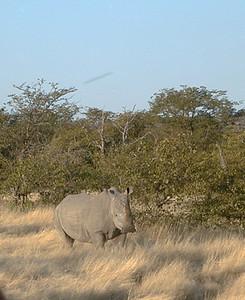 white rhino 1 080