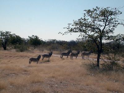 zebras 1 018