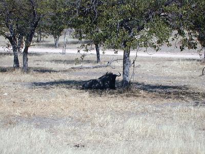 blue wildebeest 1 021