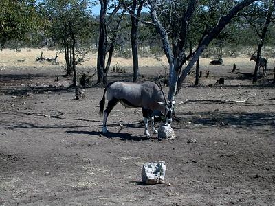oryx-salt lick 1 035