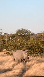 white rhino 1 079