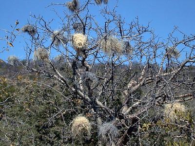 weaver nests 1 012