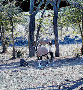 oryx 1 068