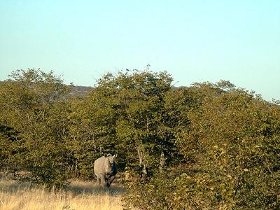 white rhino 1 084