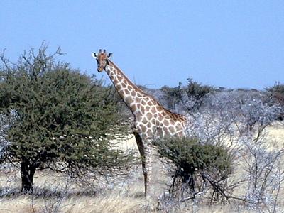giraffe-etosha 1 249