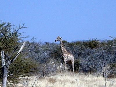 giraffe-etosha 1 246