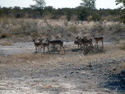 springboks-etosha1 221