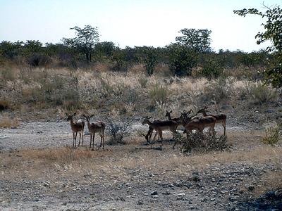 springboks-etosha 1 220