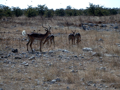 whitetail-springbok-etosha 1 229