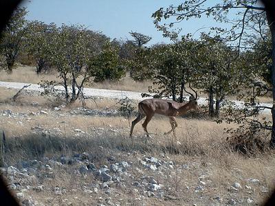 springboks-etosha 1 219