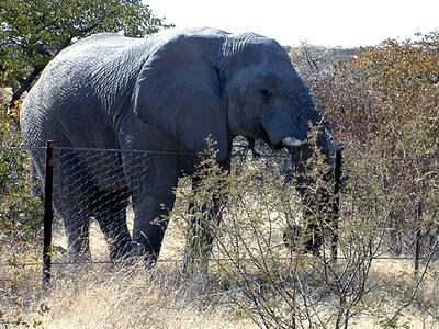 elephant-etosha 1 203