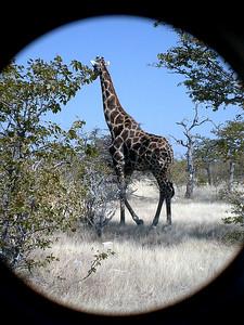giraffe 1 272