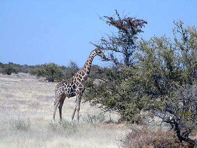 giraffe 1 270