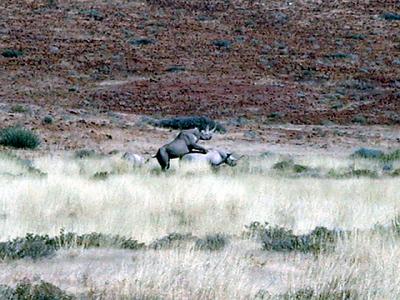 black-rhino-sex 1 386
