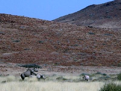 rhinos-mating 1 388