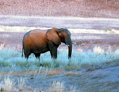 elephant-hoanib 1 560