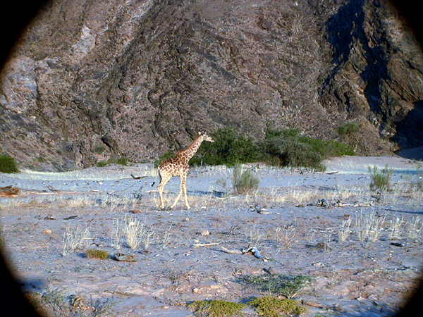 giraffe 1 553