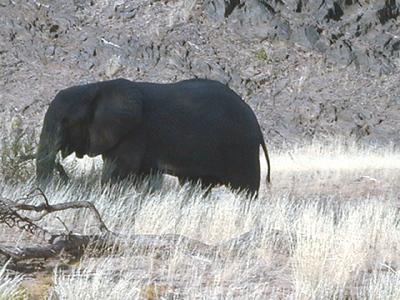 elephant 1 584