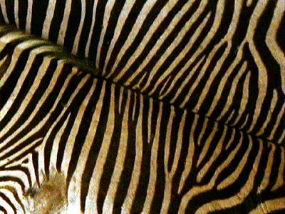 zebra-stripes 1 590
