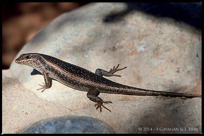 Lizard at Sesriem