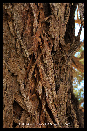 Bark of Thorn Tree