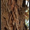 Bark of Thorn Tree