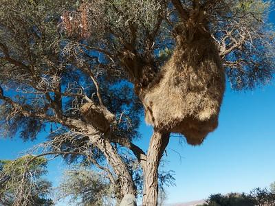 Social weaver nests