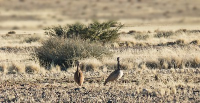 Koribustard in the Namibian desert
