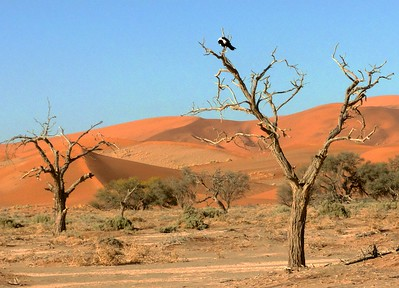 Trees on the dunes with a visiting Pied Crow.