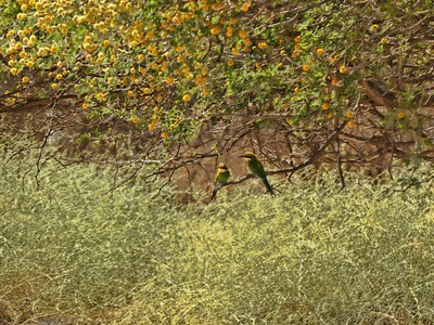 Swallow-tailed bee-eater in the trees near our lunch spot after in Namibian desert.