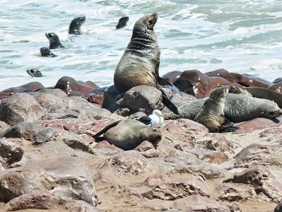 Cape Cross seals.