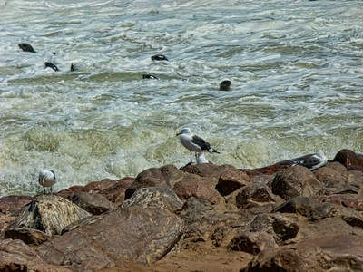 Hartlaub gull and seals enjoying a beautiful day on the Namibian Coast.