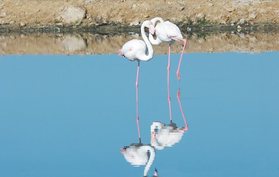 A lesser flamingo pair.  Walvis Bay.