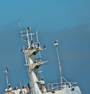 White-breasted Cormorants on the skeleton ship.