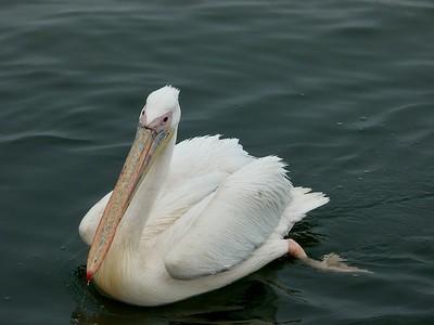 Great white pellican.