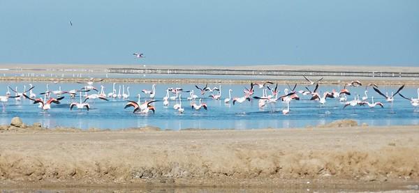 Lesser flamingos in Walvis Bay.