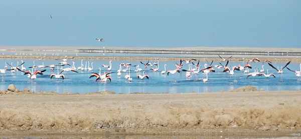 Lesser flamingos in Walvis Bay.