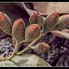 Welwitschia Flower Cones