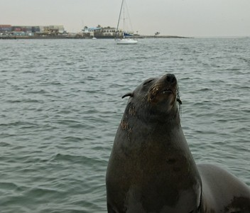 A seal that was trained to jump on the boat on Walvis Bay.
