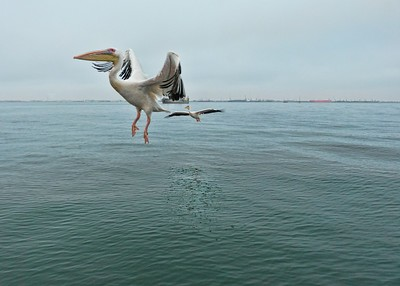 Great white pelicans in flight at Walvis Bay.