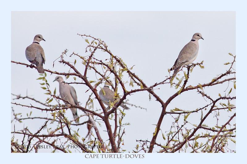 Cape Turtle-Doves