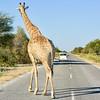 Giraffe on Road - Etosha, Namibia