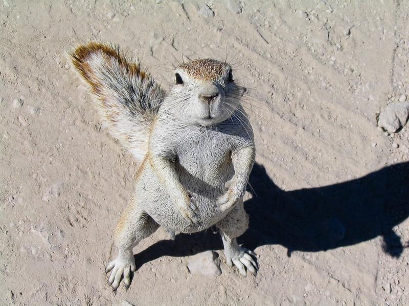 South African Ground Squirrel, Etosha N.P.