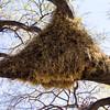 bird nest, Etosha N.P.